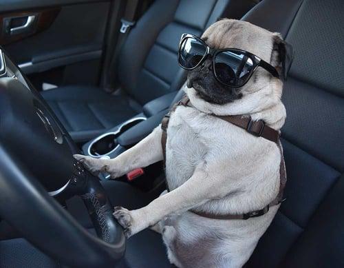 Pug-driving